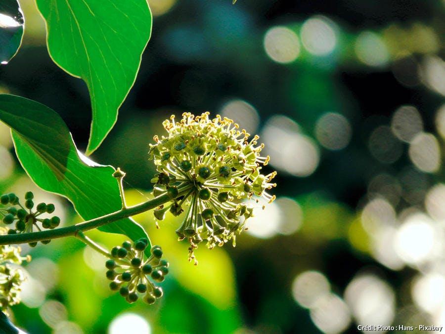 Fleur lierre