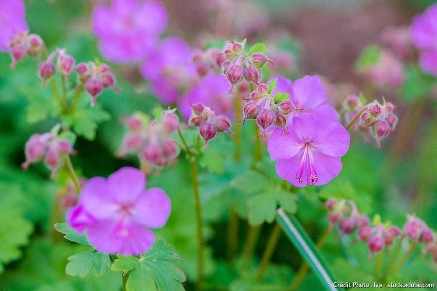 geranium vivace rose
