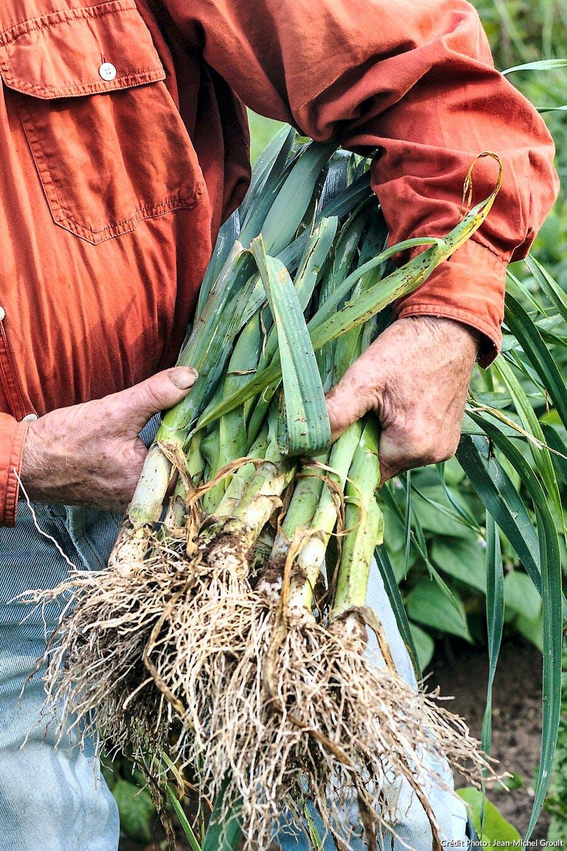 Récolte de poireaux