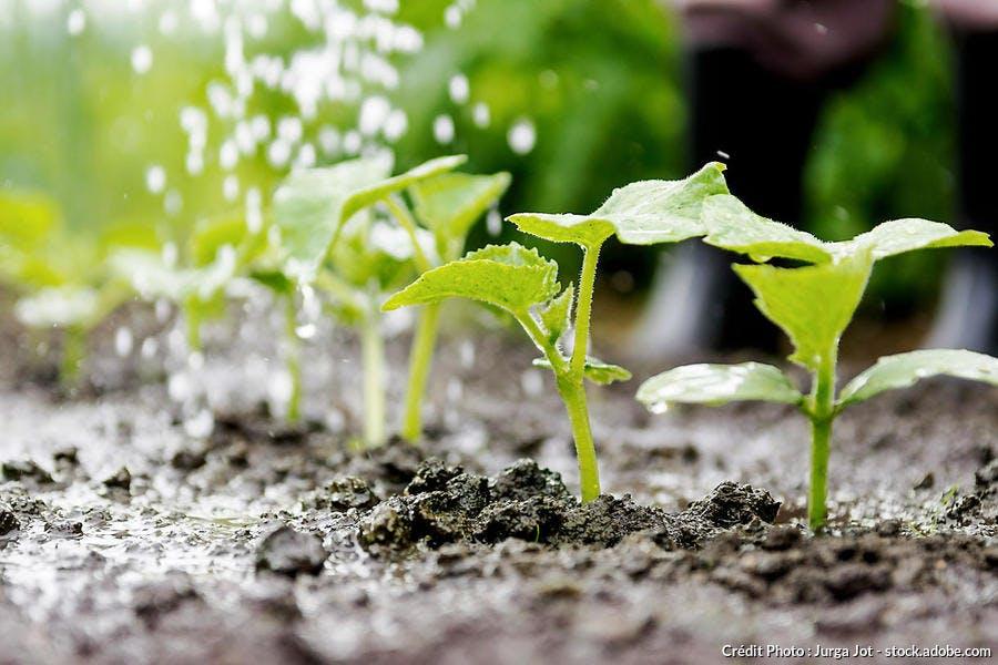 Semis de concombre