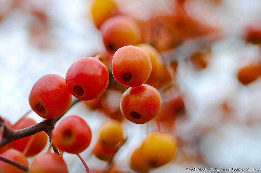 Malus fruits orange