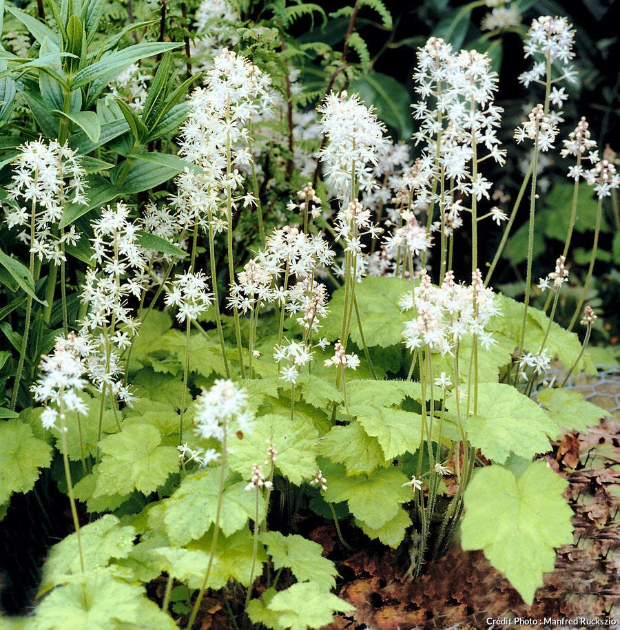 Tiarella bordure