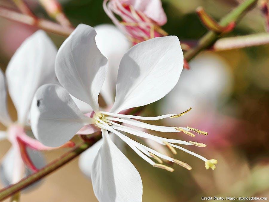 Gaura blanc