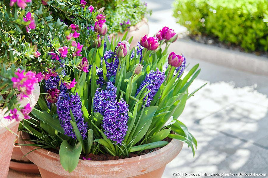 jacinthe tulipe pot