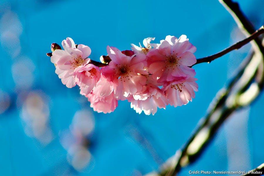 Prunus fleur