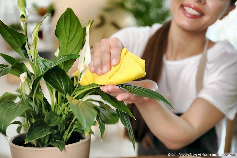 Nettoyer les feuilles du spatiphyllum