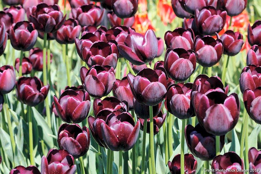 Tulipe Abou Hassan