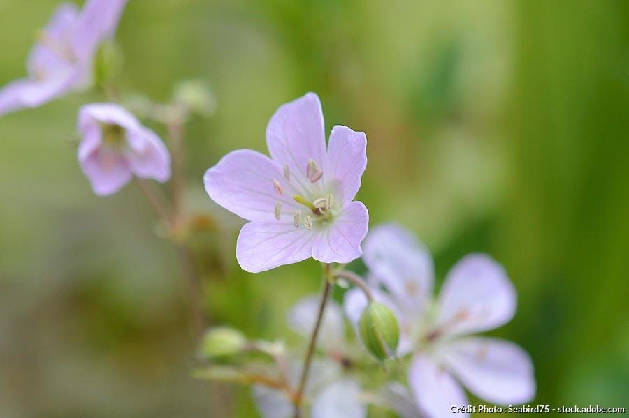 geranium vivace mauve clair