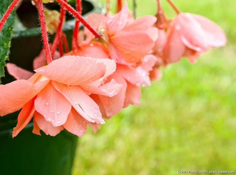 begonia coral chimes