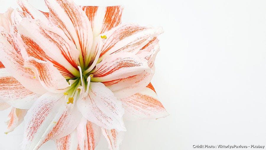 Amaryllis blanc et rose