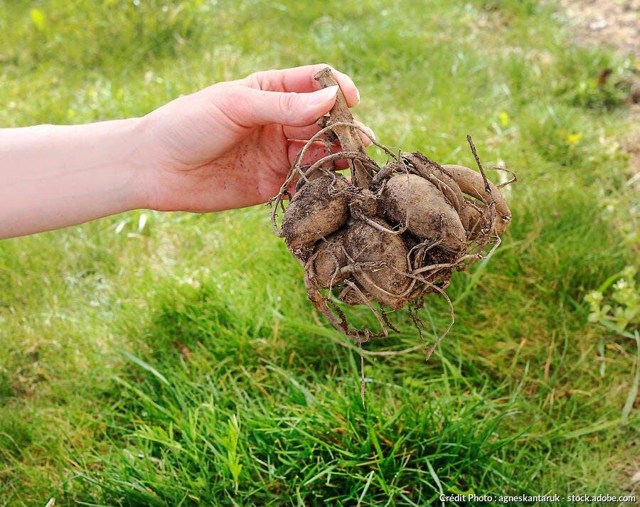 rhizome de dahlia