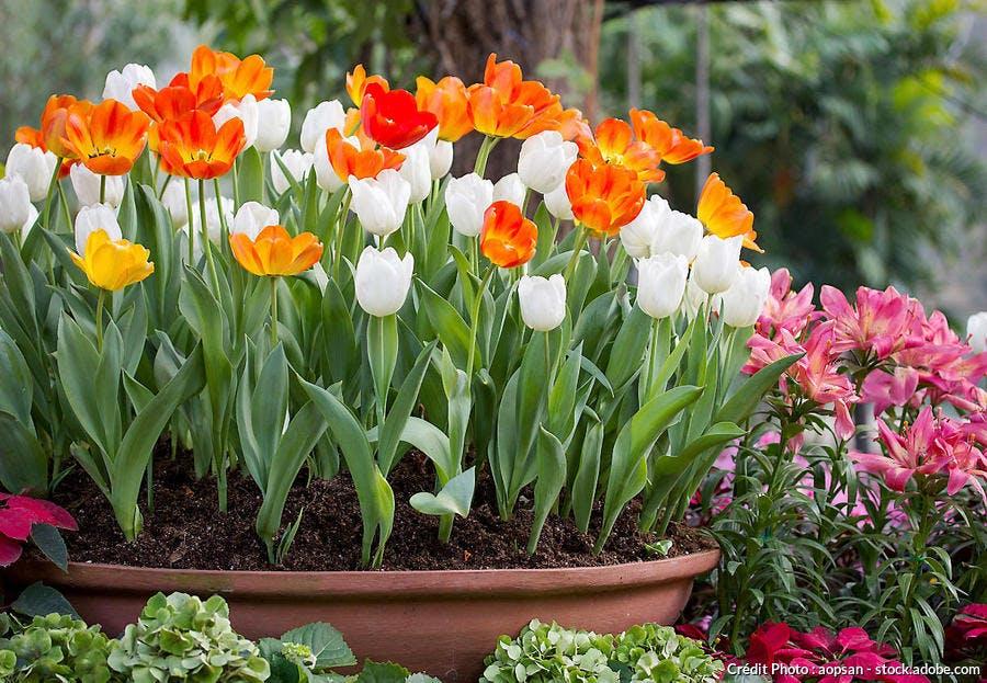Tulipes blanches et orange