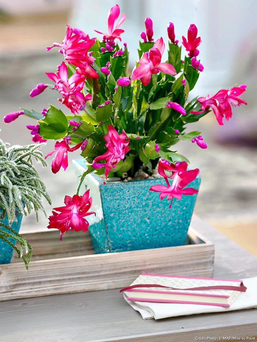 Schlumbergera, une succulente à fleurs roses