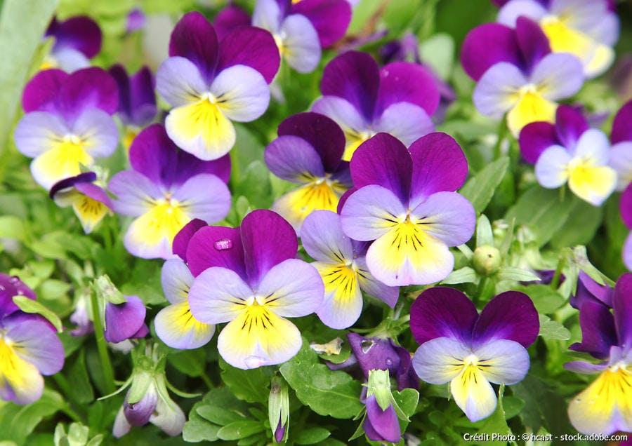 Pensées violettes cornues