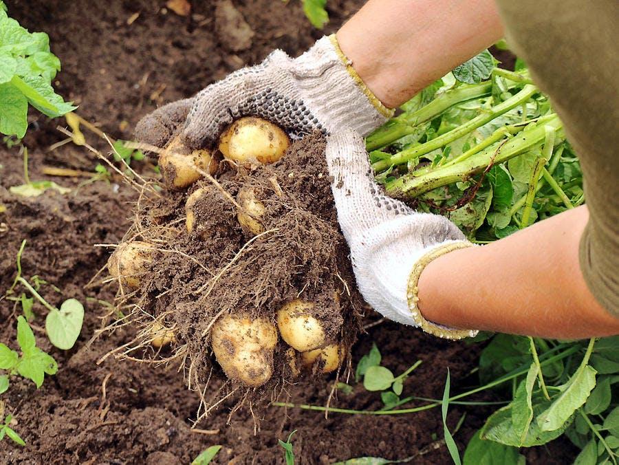 Récolter les pommes de terre avec la Lune