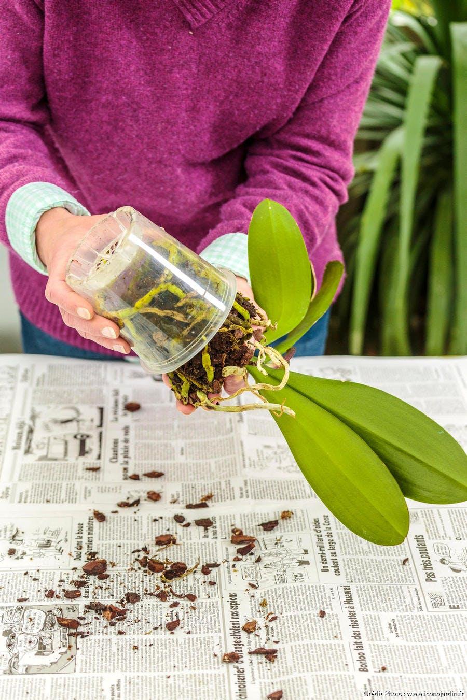 Rempotage de l'orchidée