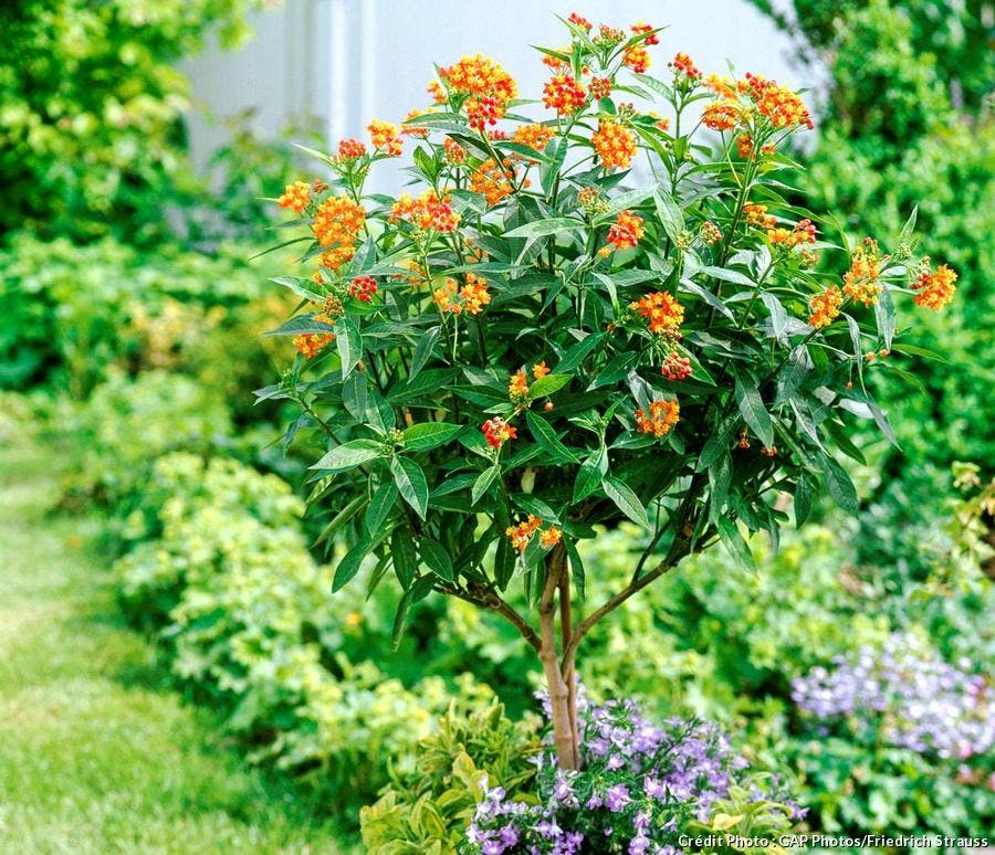 Asclepias Syriaca Graines Herbe Aux Perruches