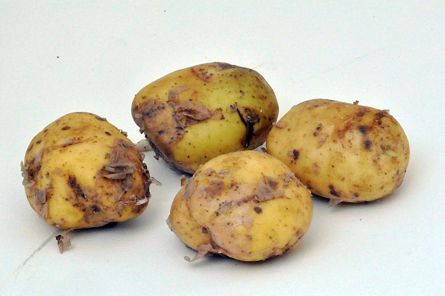 pomme de terre bonnotte