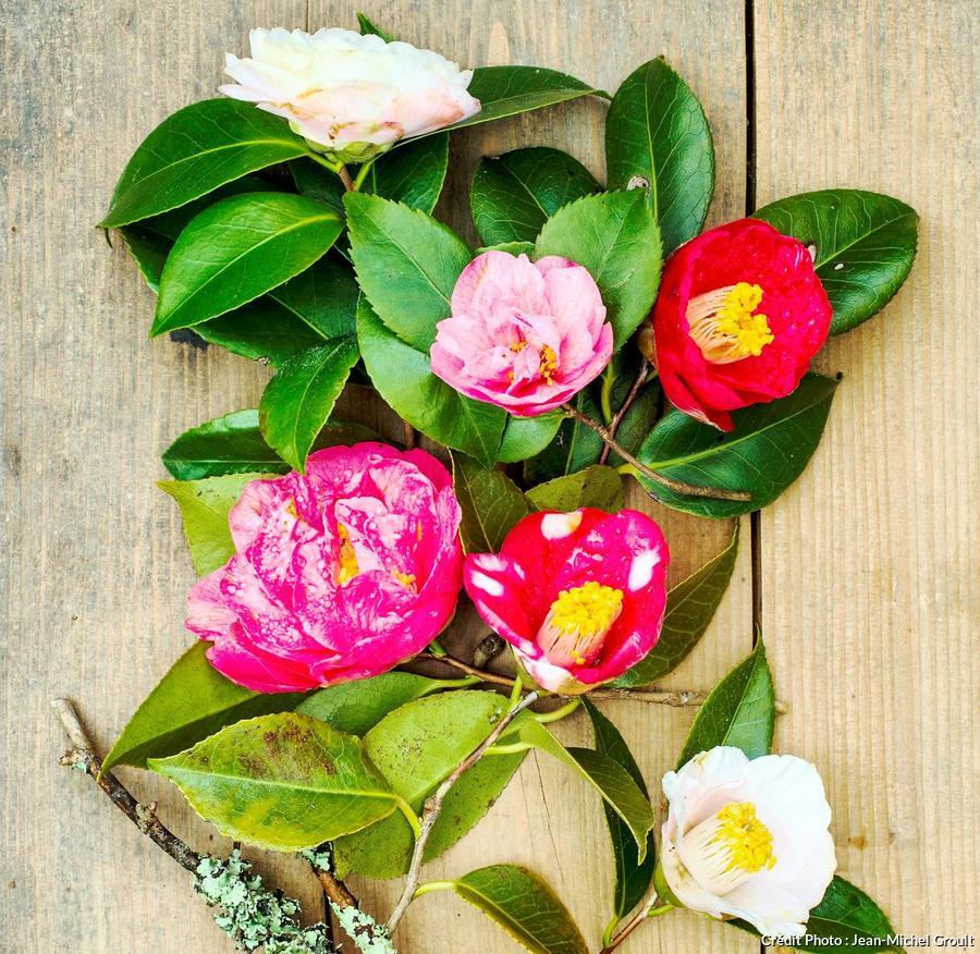 Camélia rose rouge et blanc