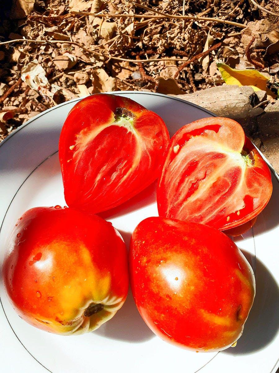 Récolter les graines des tomates