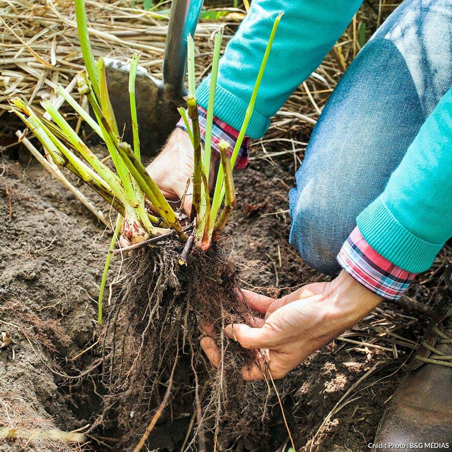 diviser persicaire replanter