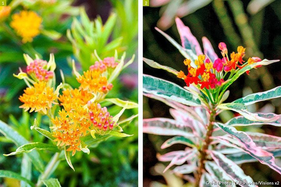 Asclepias tuberosa Gay Butterfly et Monarch Mayhem