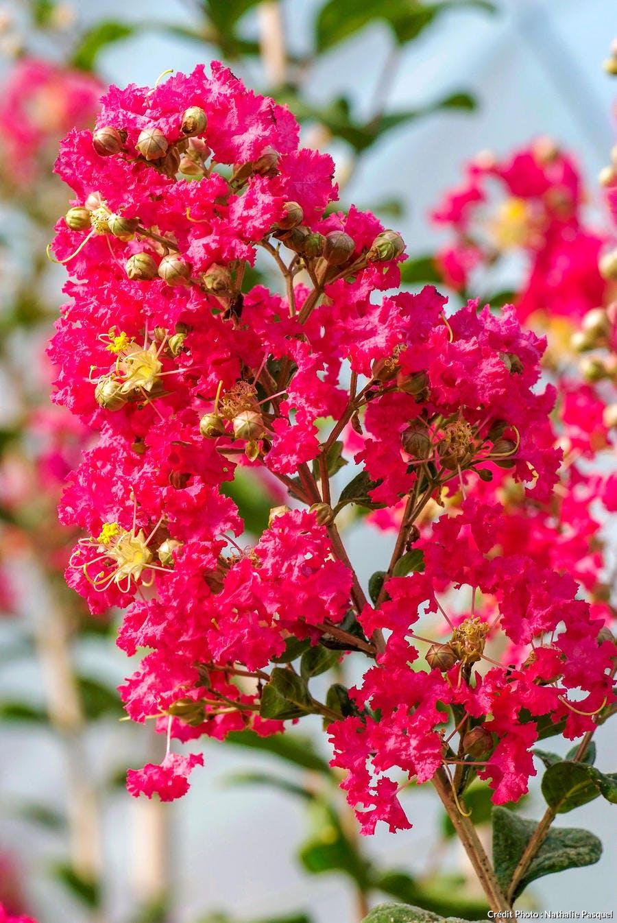Lilas des indes à la floraison rouge