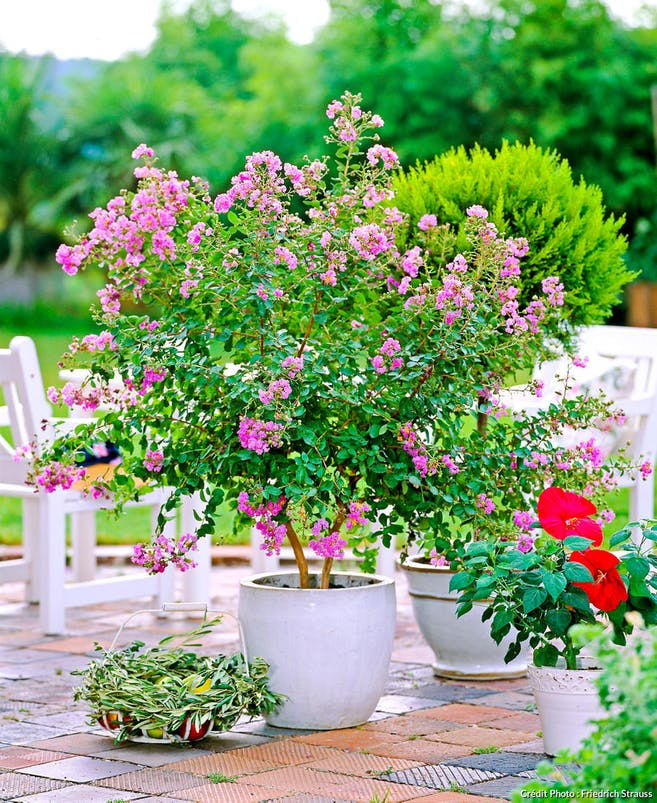 Lilas des indes en pot