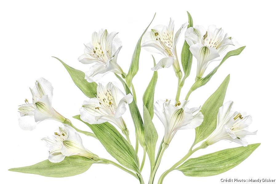 Fleurs blanches photographiées par Mandy Disher