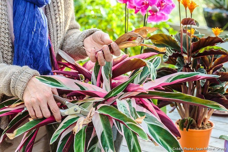 Nettoyage du calathea, couper les feuilles sèches ou abîmées