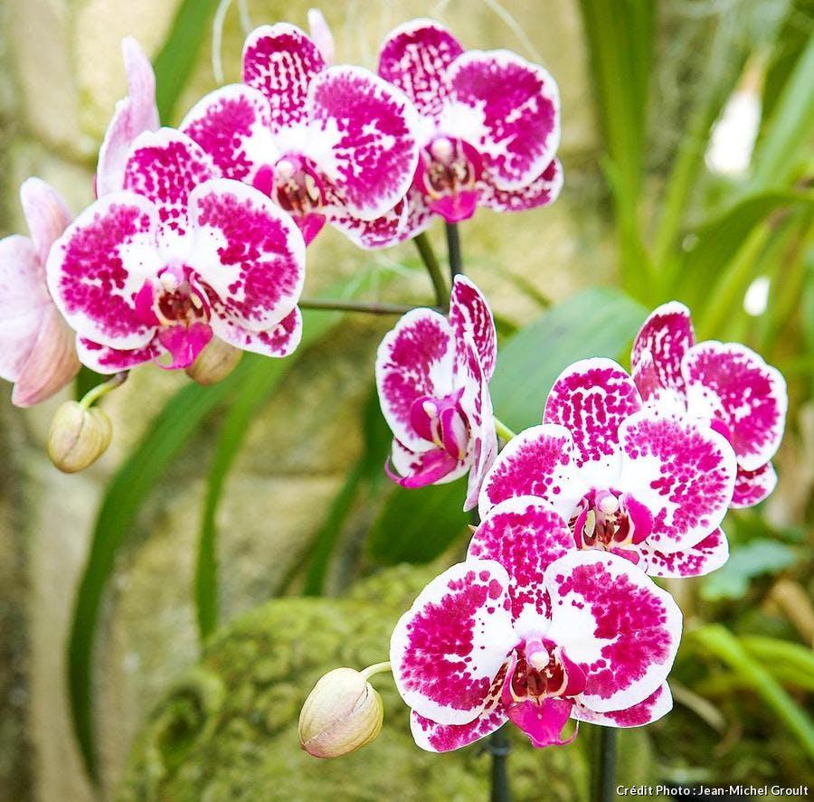 Faire refleurir des phalaenopsis