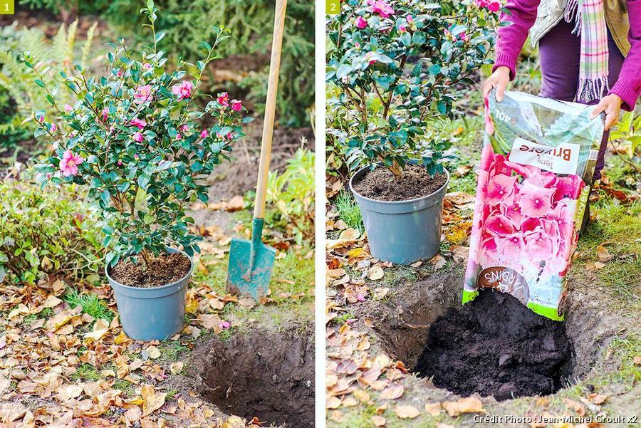 Planter un camélia
