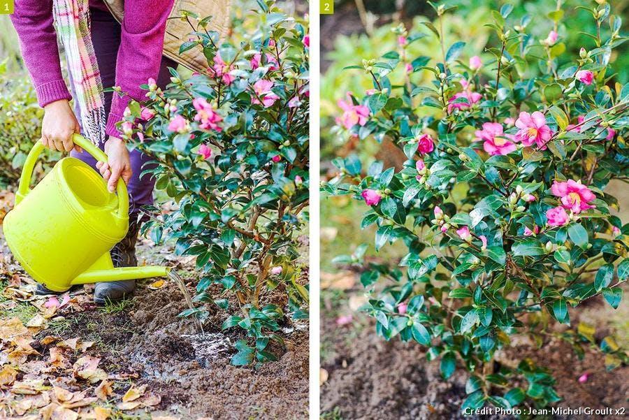 Comment planter un camélia