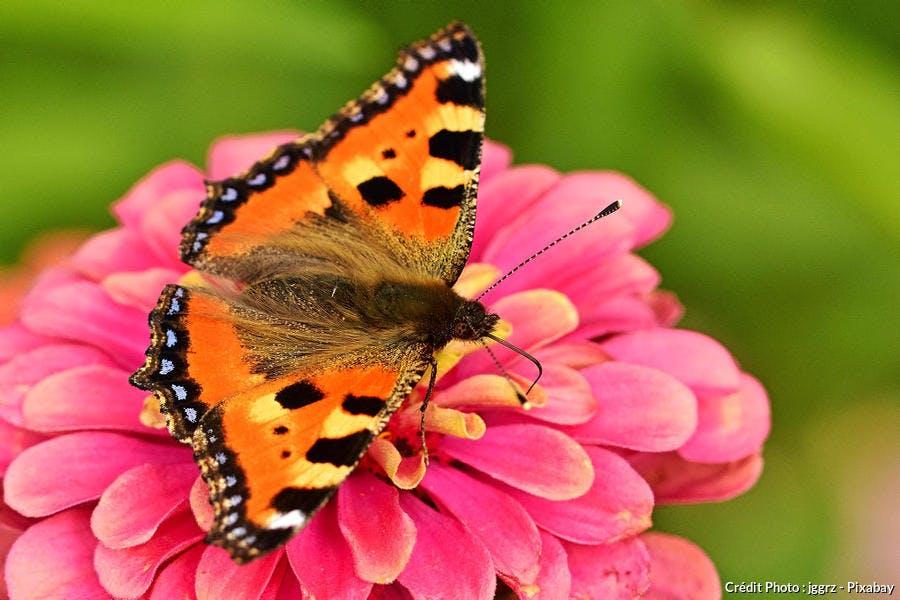 Papillon petite-tortue