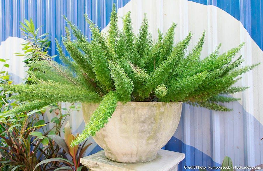 Asparagus densiflorus suspension