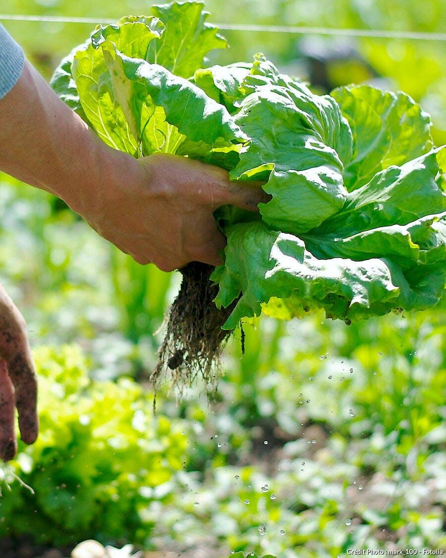 récolte d'une salade