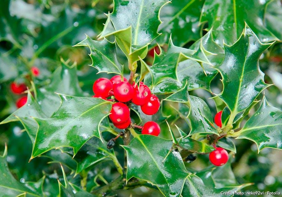 Ilex aquifolium rouge