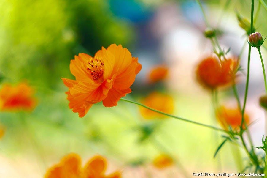cosmos orange