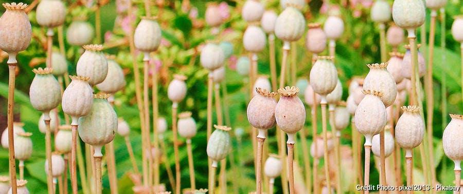 Pavot séché graines fleur
