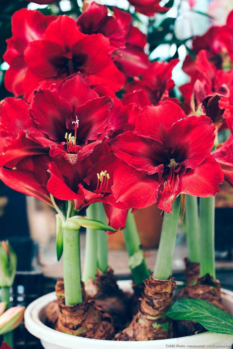 Amaryllis rouge sombre