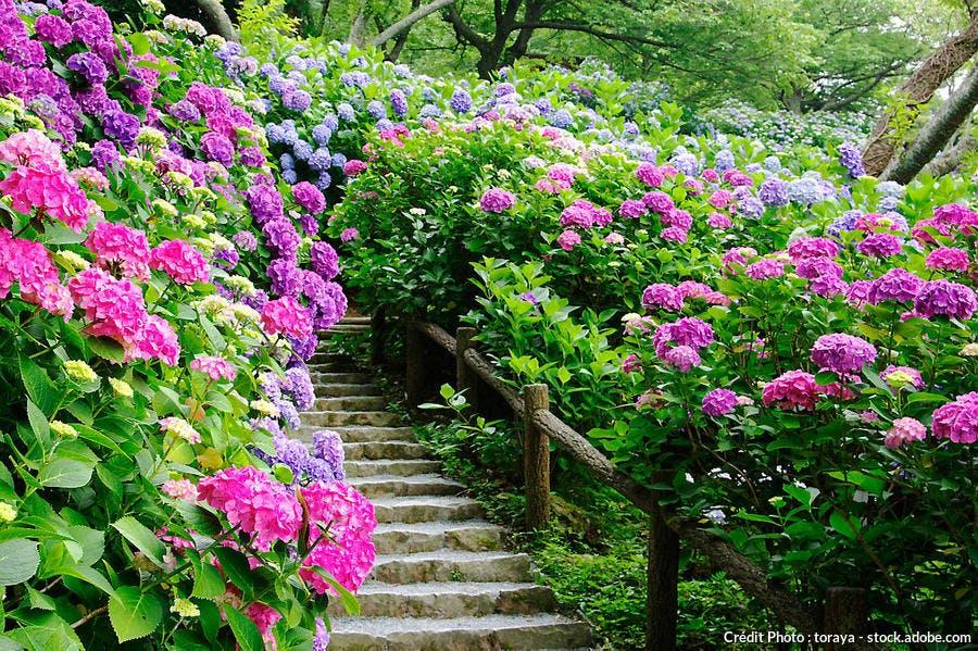 Hortensia bleus et roses