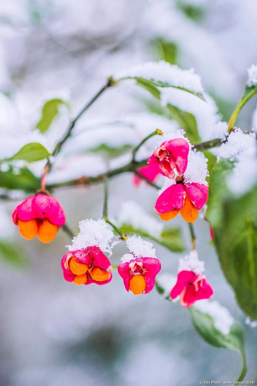 fusain fleur neige