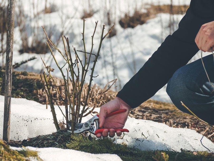 Taille des rosiers en hiver