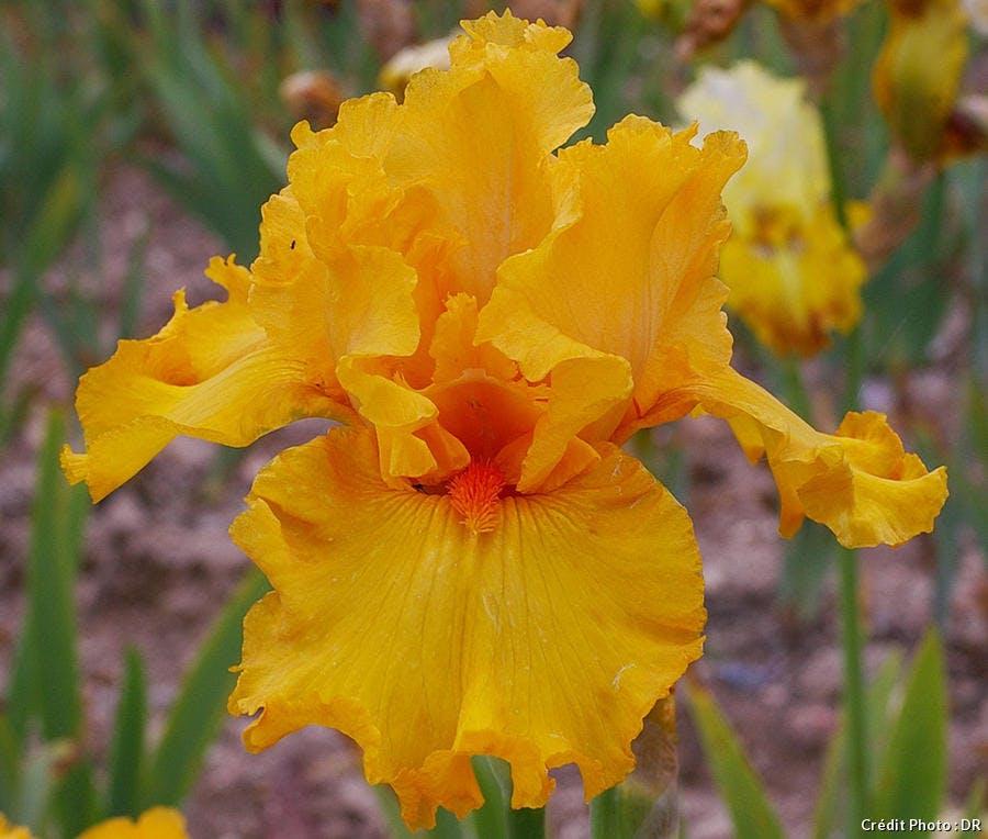 Iris Cayeux Air d'été