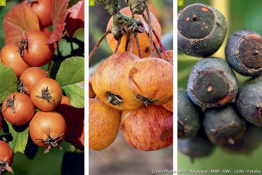 Arbustes et arbres à fruits