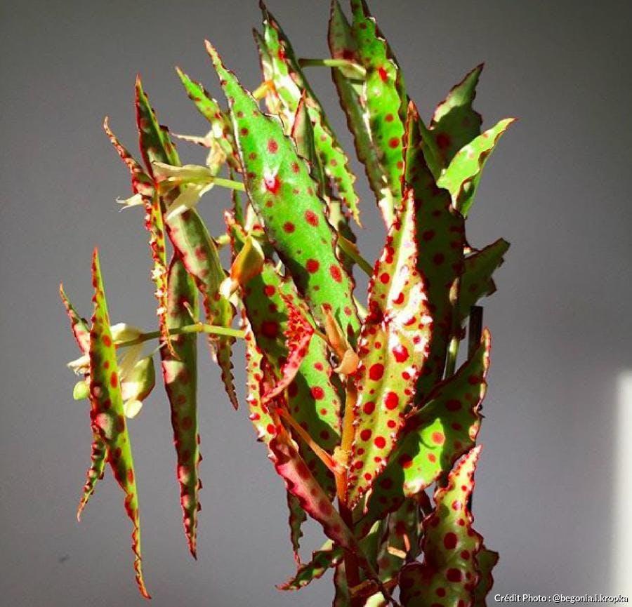 Bégonia au feuillage vert et rouge