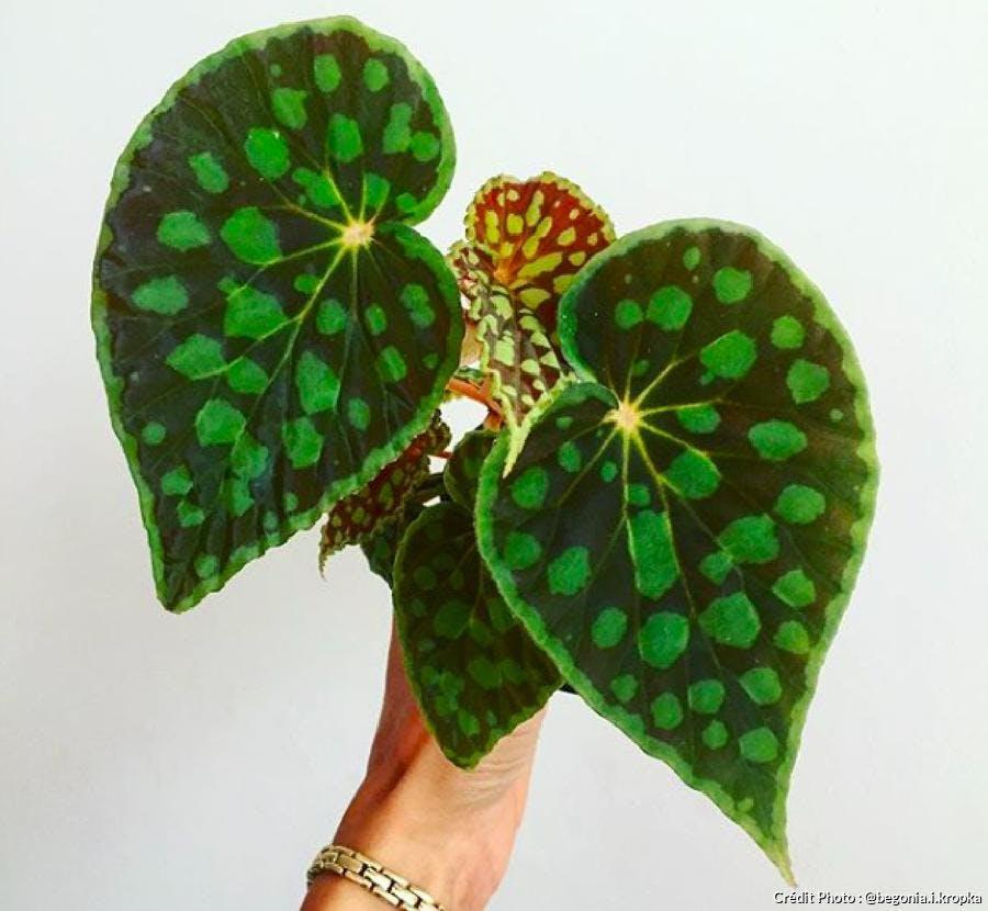 Bégonia au feuilles tachetées