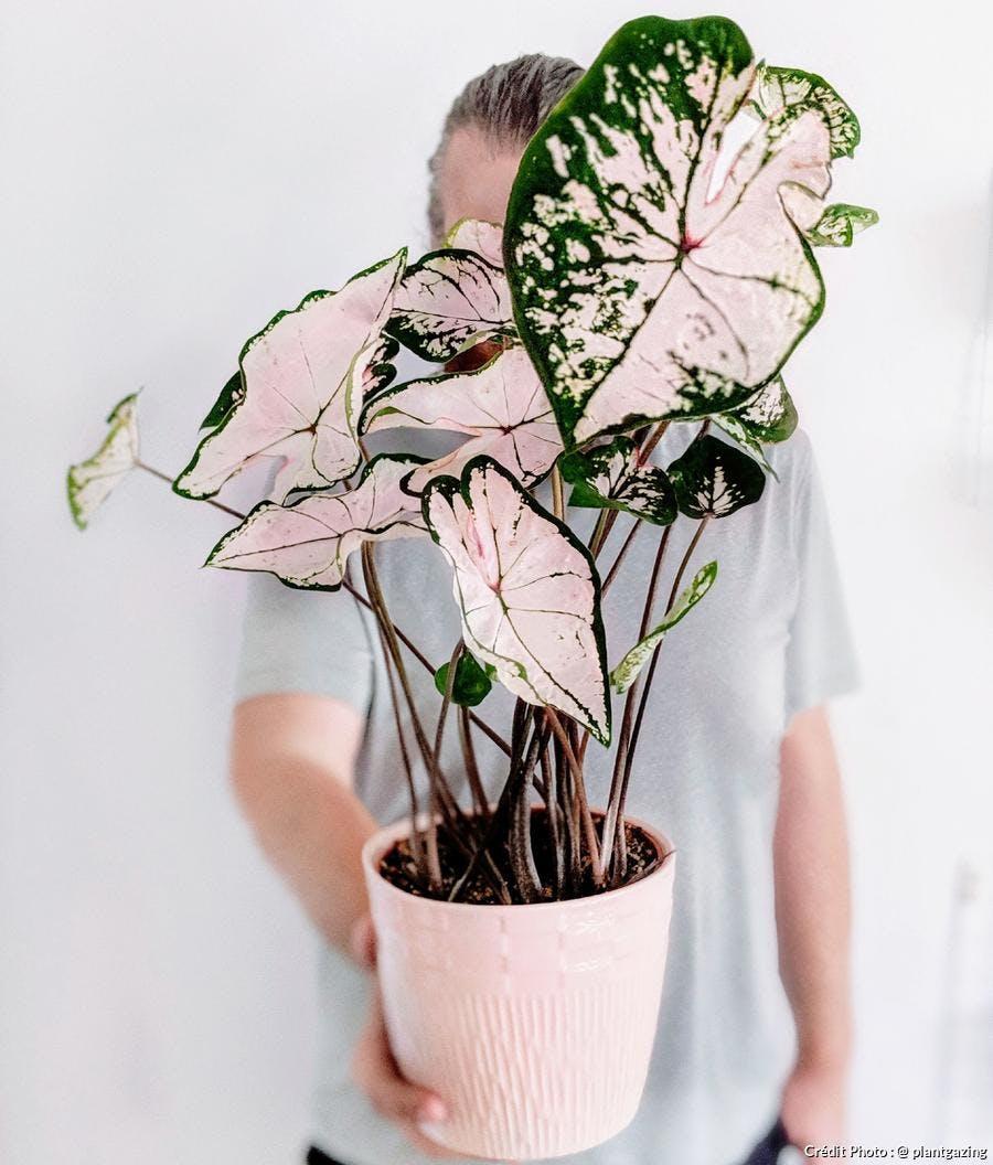 Caladium au feuillage rose