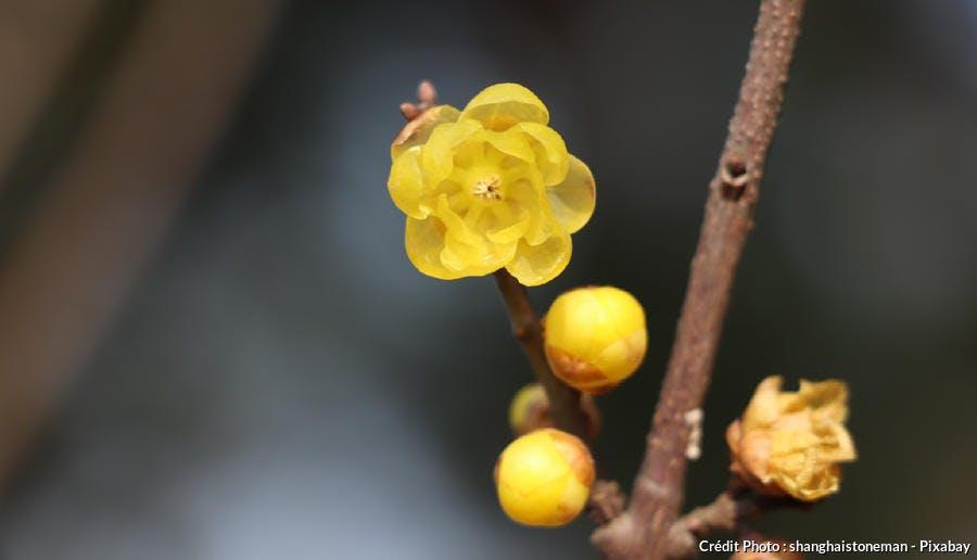 chimonanthe fleur