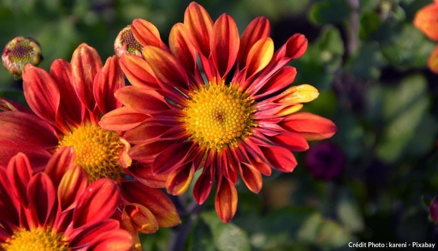 Chrysanthemum Apollo